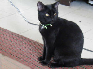 Ash, Young All Black Kitty,  for Adoption with KLAWS