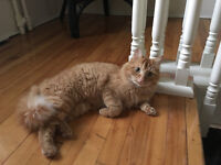 Found fluffy orange female cat