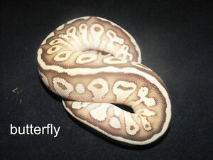 "baby butterfly ball python for sale ""REDUCED"""