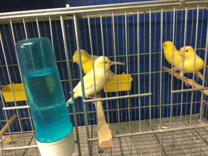 White and yellow canaries for sale