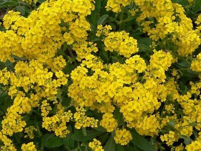 Basket Of Gold Alyssum Basket Of Gold Aurinia Organic 100 Seeds Yellow  Gift