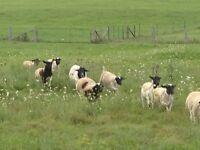 Dorper & Dorper X ram lambs
