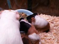 2 and a half month old guinea pigs for sale