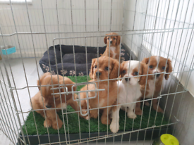 Cavalier King carles spaniel ready for new homes
