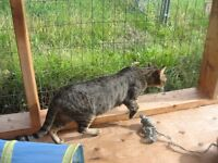 ADULT SPAYED MARBLE BENGAL FEMALE