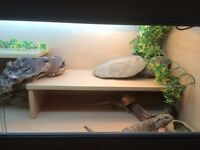 2 X Bearded Dragons with large Vivarium and accessories