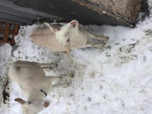 Belle chèvre saanen et bébé mâle castré sans cornes