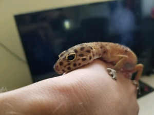 Leopard gecko + cage
