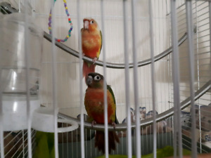 Tame Young Conures