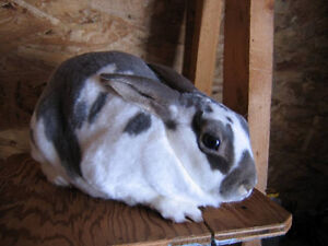 rabbits for sale mother preg n father
