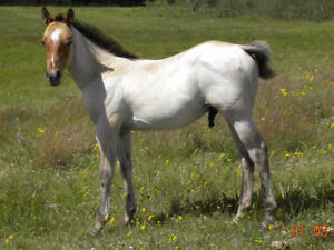 2016 AQHA foals - Reining, cutting, working cowhorse bloodlines