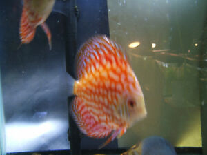 "4"" PLUS HIGH FIN CHECKERBOARD DISCUS"