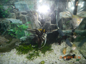 Fish For Sale;Angelfish, Guppies, Balloon Bellied Dalmation Fish