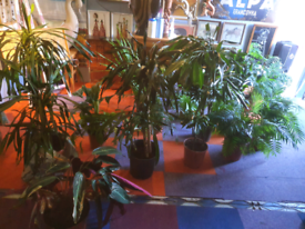 Sale!! New stock! Indoor plants - healthy and well established