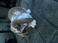 Lol eared bunny for sale