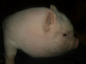 Cute baby pot belly pigs 5 girls and 2 boys Kitchener / Waterloo Kitchener Area image 8