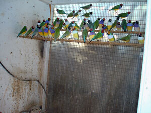 Gouldian Finches London Ontario image 6