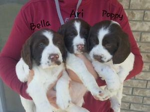 English Springer Spaniel Pups (liver and white)