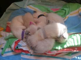 6 x Ragamese kittens (Ragdoll x Siamese)