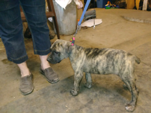 Mastiff cross puppies for sale