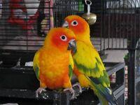 Couple conure Soleil - Prouver