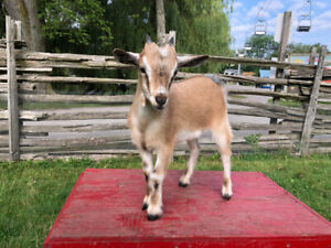 Baby Lambs & Goats for sale
