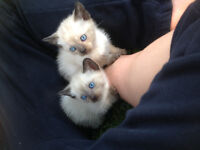 Siamese kittens ready for new homes soon!