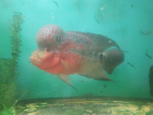 Red Flowerhorn - Breeding pair