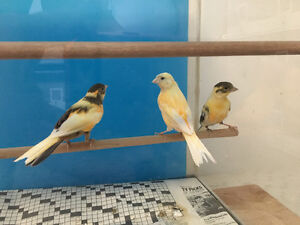 Beautiful Young Healthy Canaries, Nice Song and Colours