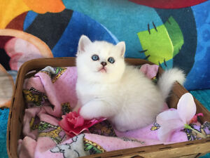 PURE BREED BRITISH KITTENS AVAILABLE!!!!