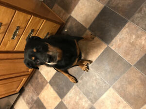 Found Dog in Mount Pearl
