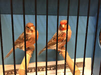 Red mosaic and black mosaic canaries for sale