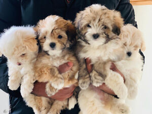 mix puppies for sale adopt dogs puppies locally in ontario