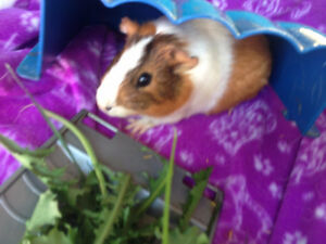 guinea pig for sale !!!! new price