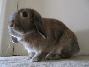 Sweetest holland lop - Male, neutered, 2.5 yrs