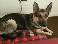 Gsd 4 yr old