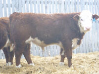 Registered Polled Hereford Yearling Polled Hereford Bulls