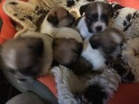Stunning rough coated Jr puppies