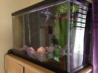 aquarium 33 gallon,aquarium,cichlide,poisson