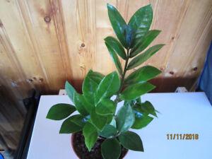 Zamioculas Zamiifolia -  (ZZ)/Money Plant/ Air Purifying