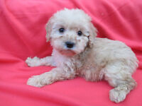 ♥♥CREAM Colour Maltese Poodle [Maltipoo] Puppies(Only 2 Left!)♥♥