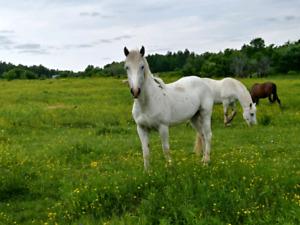 Beautiful young Appaloosa mare