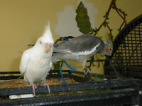 Cockatiels $75 and up