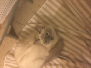 I have three hymilanian and Siamese kittens 8 weeks ready to go