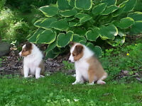 Chiots Colley Shetland miniature