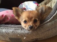 Long haired Male Chihuahua puppy