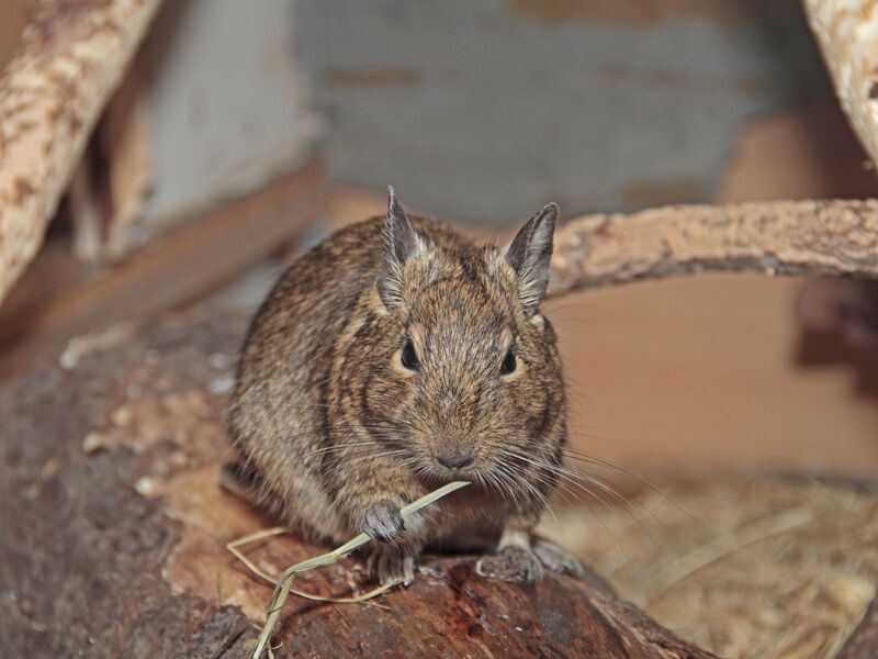 Top 3 Degu Toys for Pets