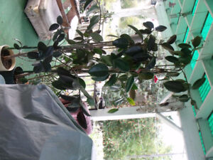 Two large rubber plants $175.00
