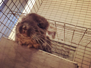 four month chinchilla looking for new home