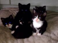 BRITISH SHORT HAIR CROSS KITTENS